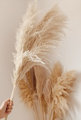 Pampas Grass - פמפס